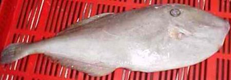 Senfu seafoods for Leather jacket fish